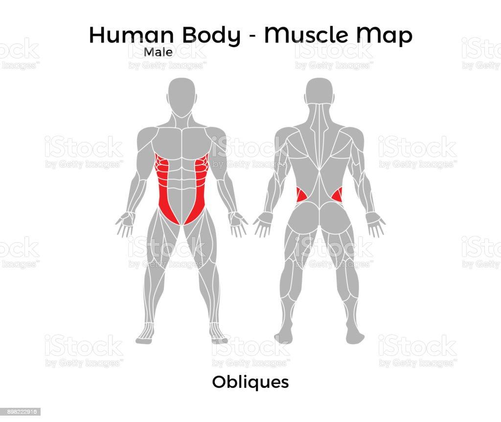Ilustración de Cuerpo Humano Masculino Mapa De Músculo Oblicuos y ...