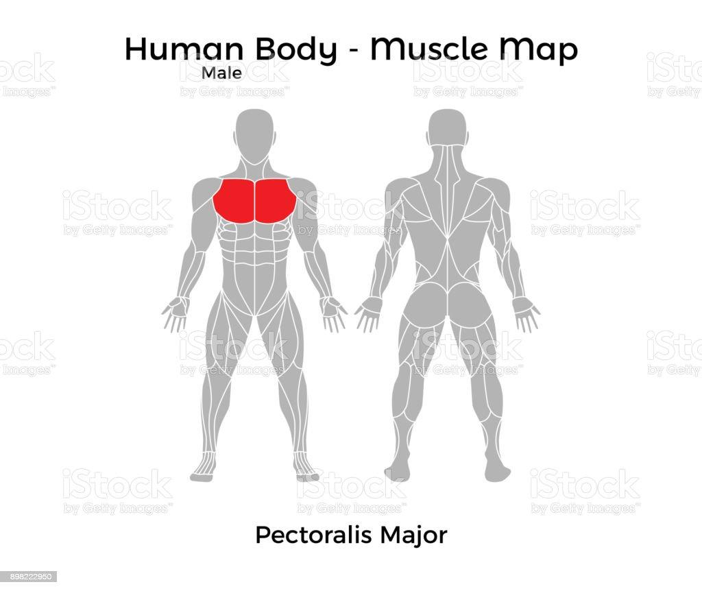 Ilustración de Cuerpo Humano Masculino Mapa De Músculo Músculo ...