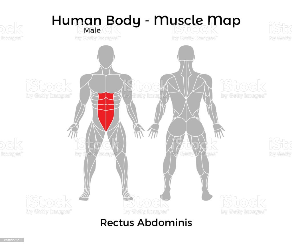 Male Human Body Muscle Map Rectus Abdominis Stock Vector Art More