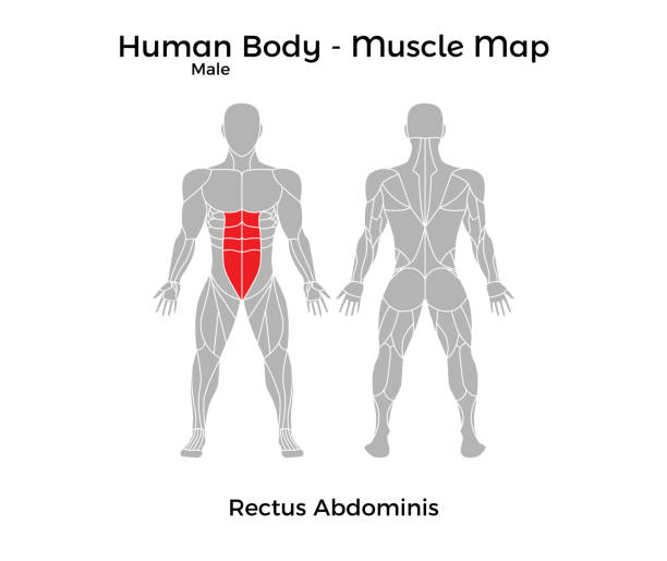 Royalty Free Rectus Abdominis Clip Art, Vector Images ...