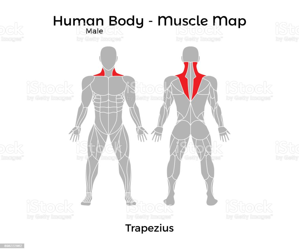 Male Human Body Muscle Map Trapezius Stock Vector Art & More Images ...