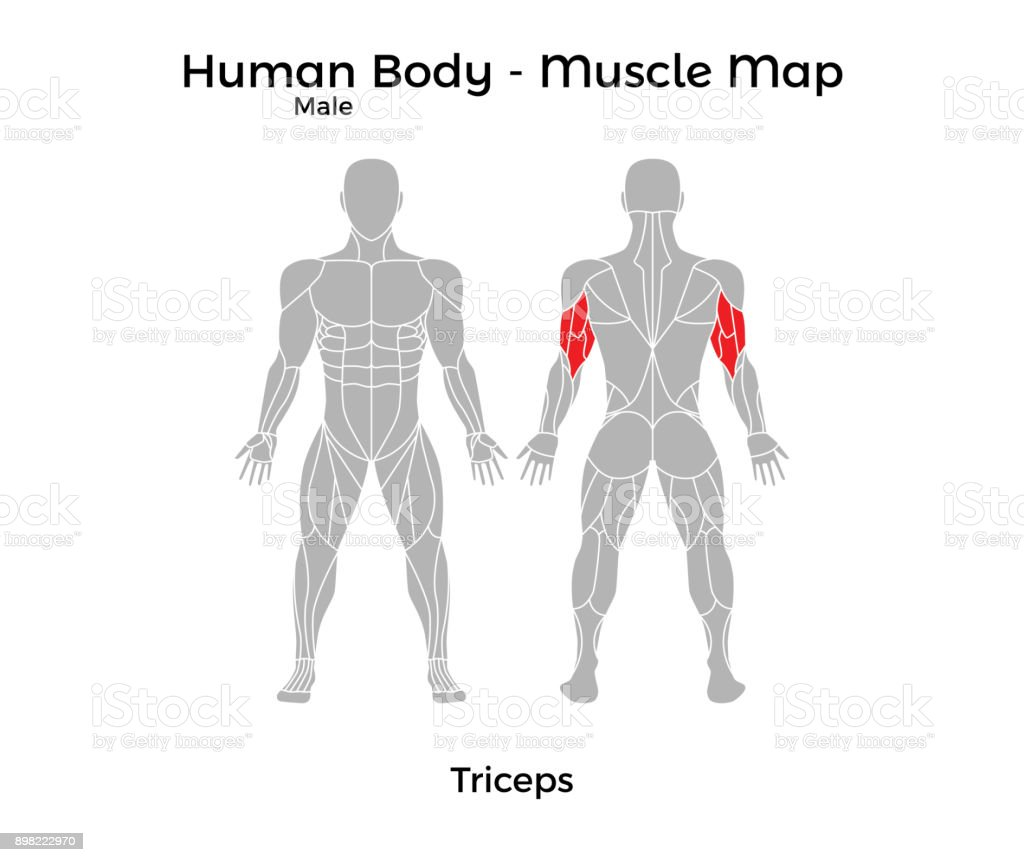 Male Human Body Muscle Map Triceps Stock Vector Art & More Images of ...