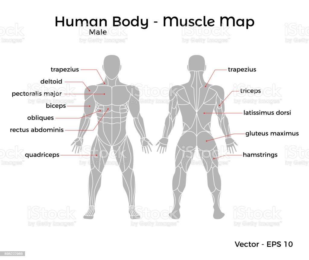 Männliche Menschliche Körper Muskeln Karte Stock Vektor Art und mehr ...