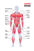 istock male muscular system board human body structure muscle map full length vertical copy space 1208390311