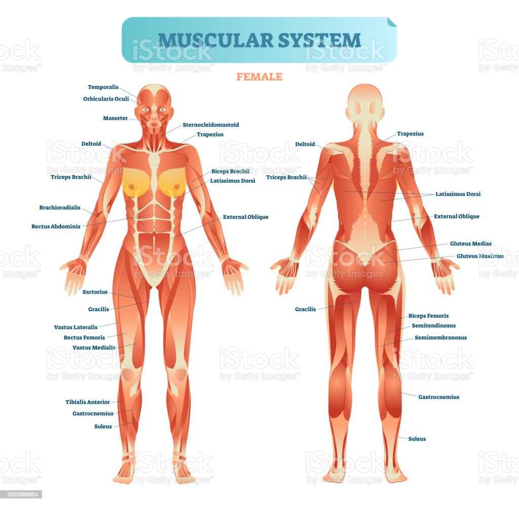 Male muscular system, full anatomical body diagram with muscle scheme, vector illustration educational poster. vector art illustration