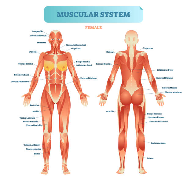 Best Human Muscle Illustrations, Royalty-Free Vector