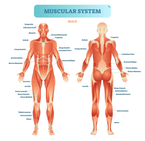 Male muscular system, full anatomical body diagram with muscle scheme, vector illustration educational poster. Male muscular system, full anatomical body diagram with muscle scheme, vector illustration educational poster. Fitness health care information. human muscle stock illustrations