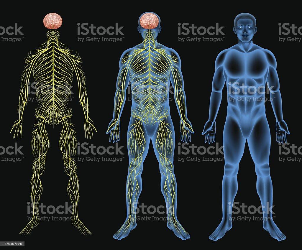 Male nervous system vector art illustration