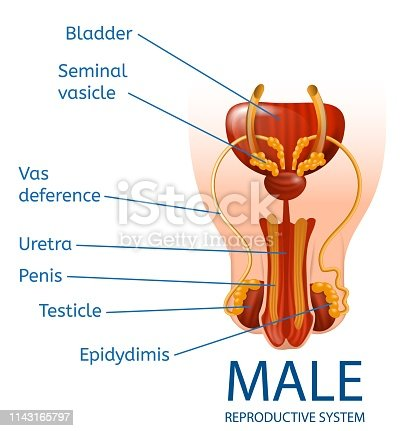 Male Reproductive System Anatomical Banner with Close Up View of Man's Genitals with Designation of All Important Components on White Background. Medical Educational Aid Vector Realistic Illustration