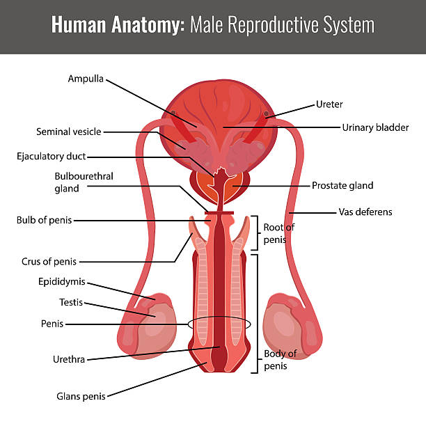 Royalty Free Male Reproductive Organ Clip Art Vector Images