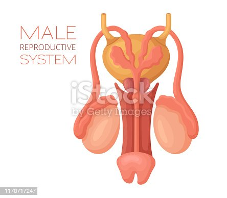 Male reproductive system. Anatomy vector.