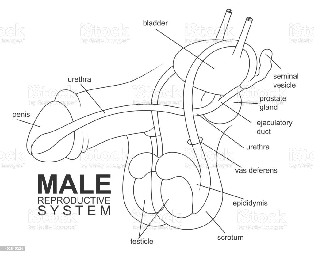 Male Reproductive System Stock Vector Art & More Images of Anatomy ...