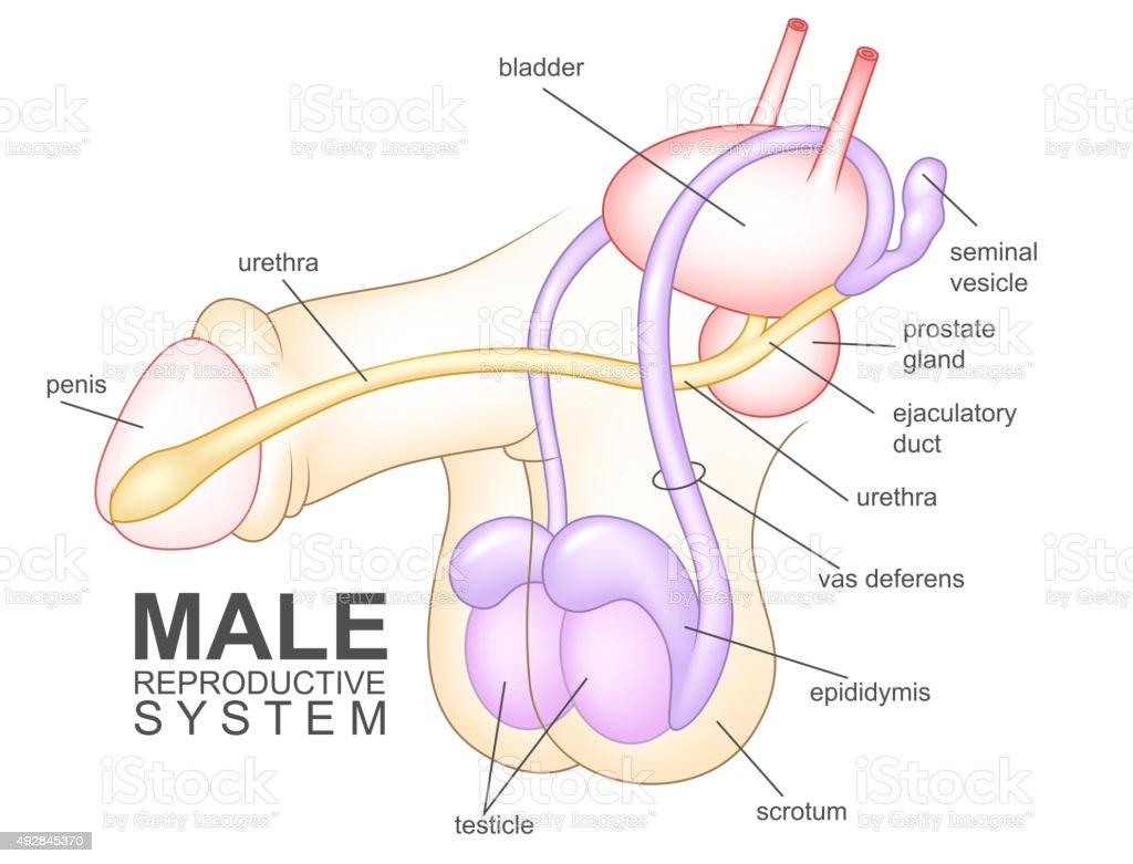 Männliche Reproduktive System Stock Vektor Art und mehr Bilder von ...