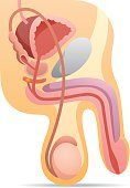 Anatomical illustration representing the male reproductive system.