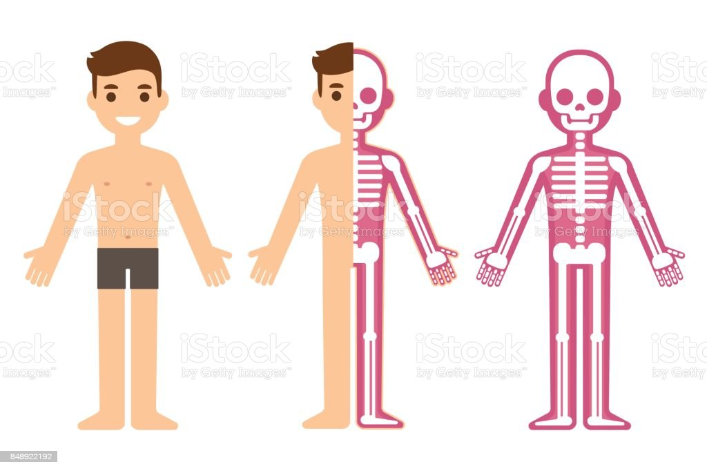Male skeleton anatomy vector art illustration