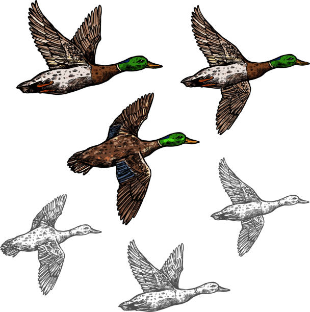Mallard duck vector sketch wild bird icon Duck mallard wild bird vector sketch icon. Drake duck flying symbol for wildlife fauna and zoology or hunting sport team trophy symbol and nature zoo adventure club design loon bird stock illustrations