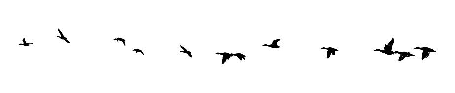 Mallard ducks flying in formation