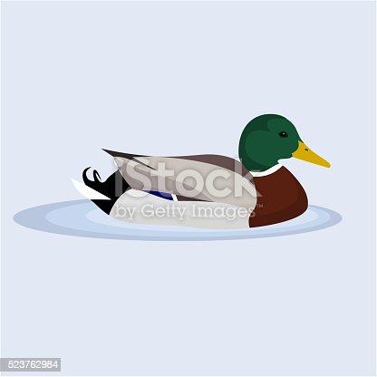 Mallard, Wild Duck, vector illustration