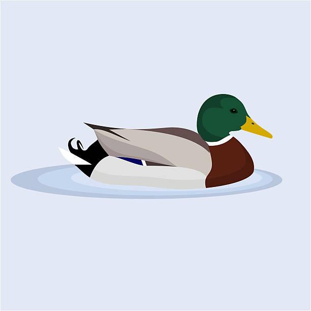 stockillustraties, clipart, cartoons en iconen met mallard, wild duck, vector illustration - wildplassen
