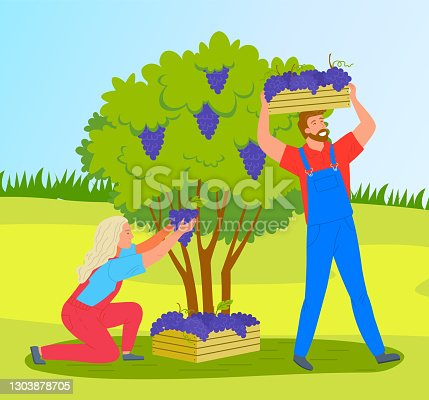 istock Man and woman picking grapes from bushes on a vineyard plantation. Farmers collecting ripe grapes 1303878705