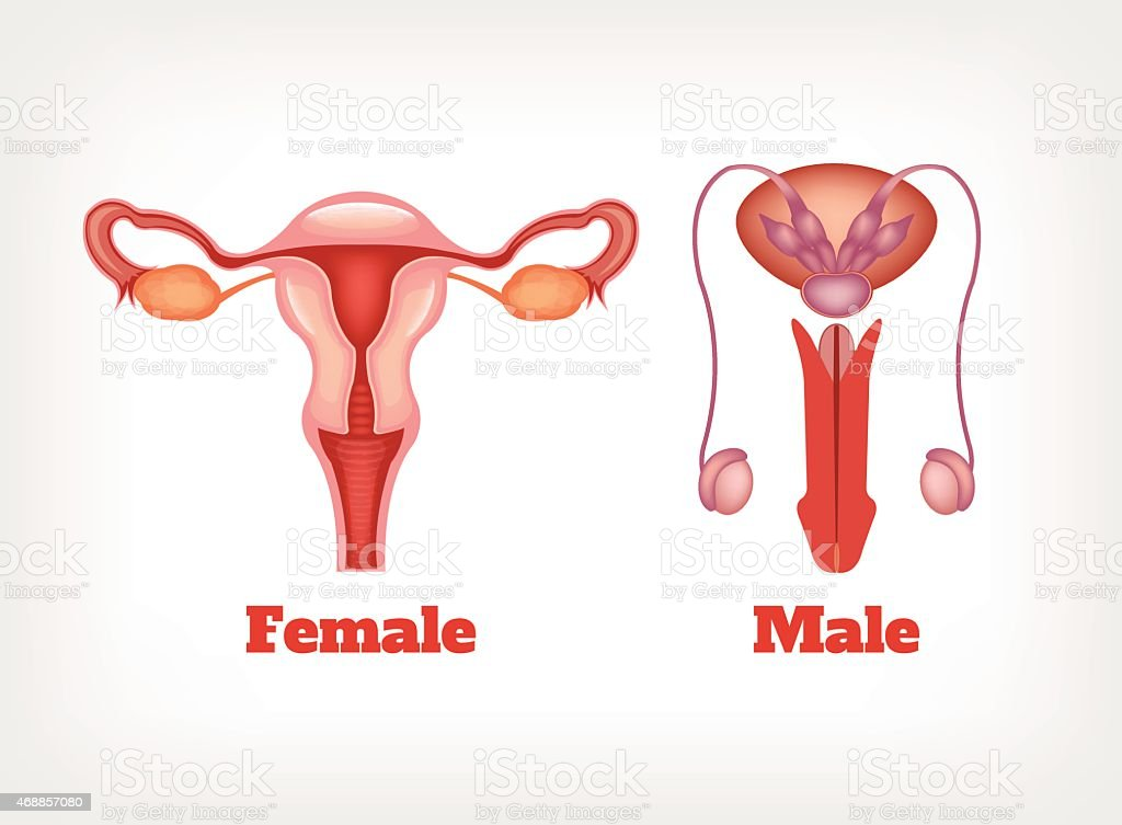 Male and female reproductive system-7183