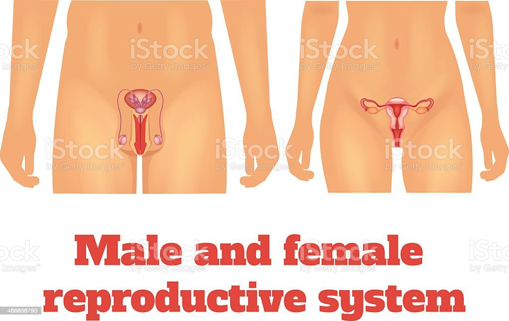Man and woman reproductive system. Vector illustration vector art illustration