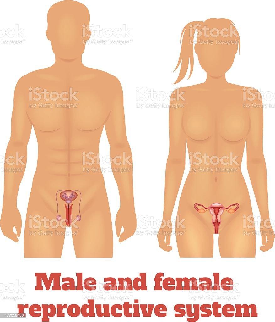 Mann Und Frau Reproduktive System Vektorillustration Stock Vektor ...