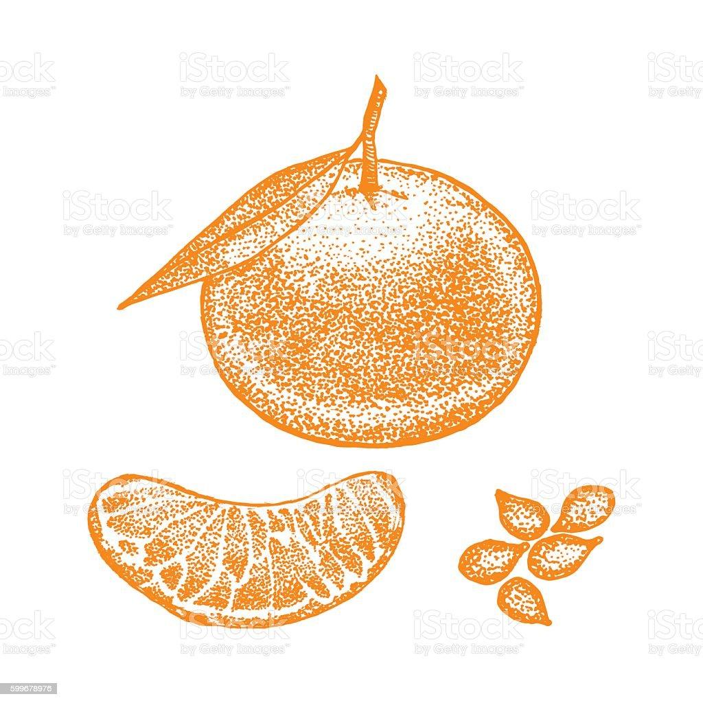 Mandarin Hand Draw Sketch. Vector vector art illustration