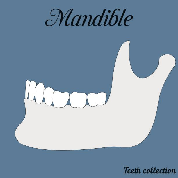 mandible mandible - bite, closure of teeth - incisor, canine, premolar, molar upper and lower jaw. Vector illustration for print or design of the dental clinic septum stock illustrations