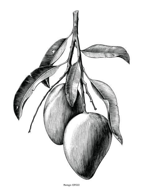ilustraciones, imágenes clip art, dibujos animados e iconos de stock de mano de rama mango dibujar arte clip vintage aislada sobre fondo blanco - mango