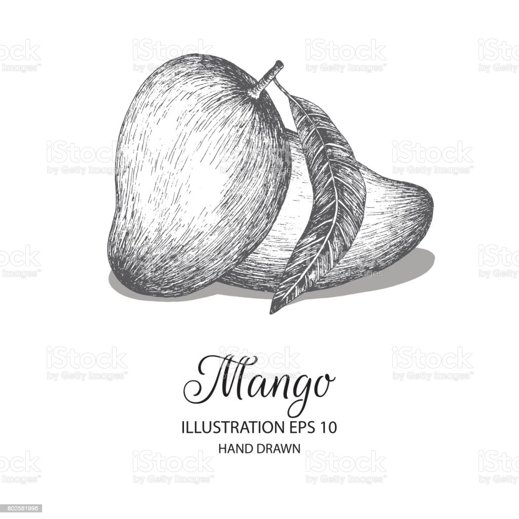 Mango hand drawn illustration by ink and pen sketch illustration