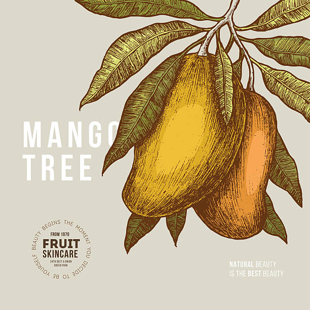ilustraciones, imágenes clip art, dibujos animados e iconos de stock de mango tree vintage design template. botanical mango fruit illustration. - mango