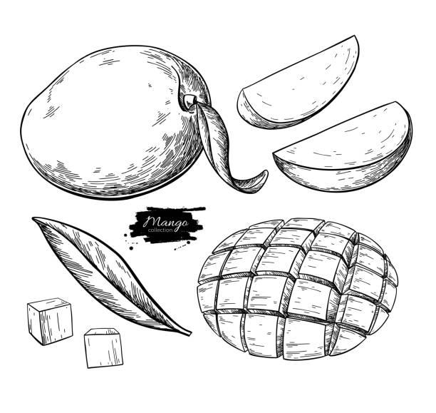 ilustraciones, imágenes clip art, dibujos animados e iconos de stock de dibujo vectorial de mango. ilustración de frutas tropicales dibujadas a mano. fruta de verano grabada. - mango