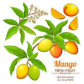 mango plant vector isolated on white background