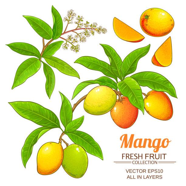 ilustraciones, imágenes clip art, dibujos animados e iconos de stock de conjunto de vector de mango - mango