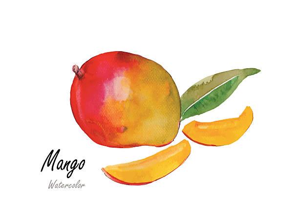ilustraciones, imágenes clip art, dibujos animados e iconos de stock de mango.hand llamado pintura de acuarela .vector medio - mango