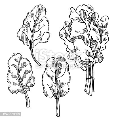 Swiss Chard Vector Free Ai Svg And Eps