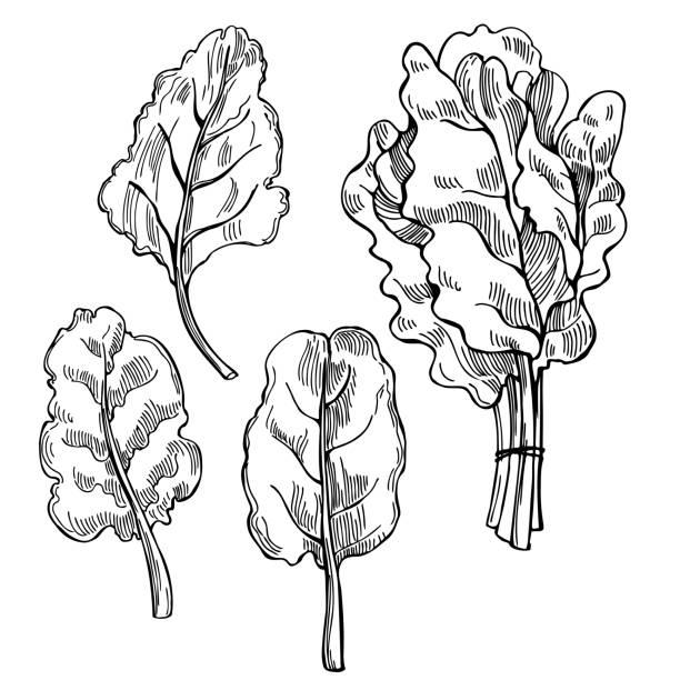 Mangold lettuce. Swiss chard  leaves. Hand drawn Mangold lettuce. Swiss chard  leaves. Vector sketch illustration crucifers stock illustrations