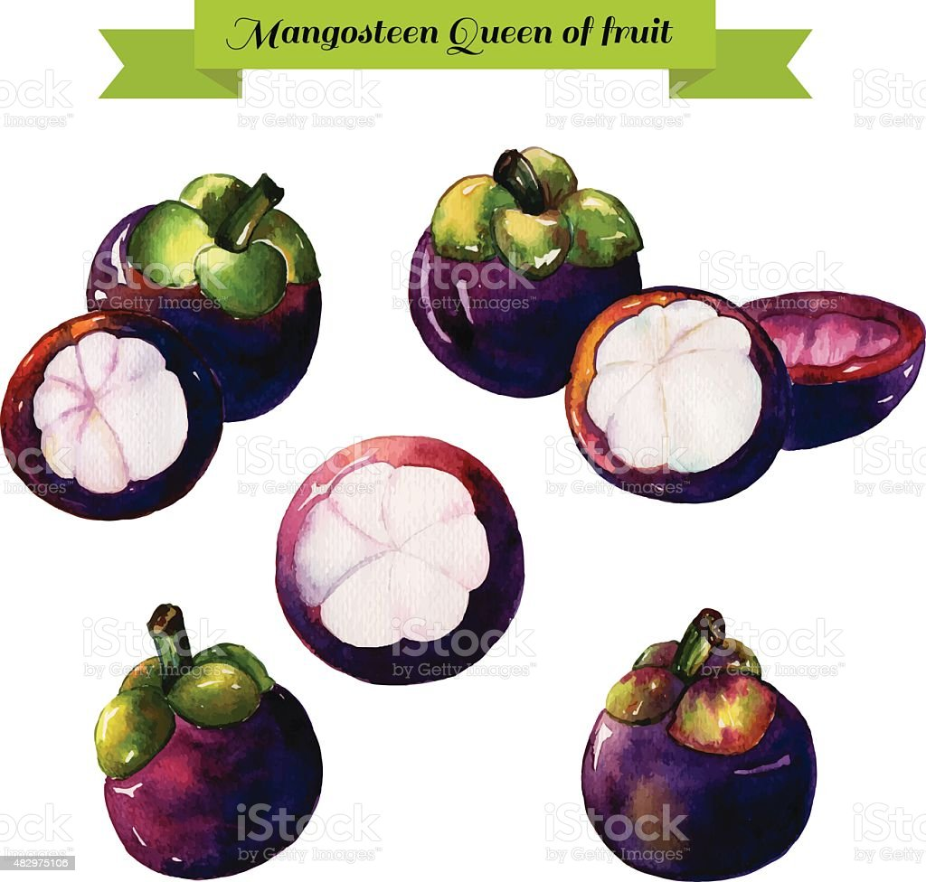 Mangosteens Much Hand Draw Watercolor On White Background On W Stock