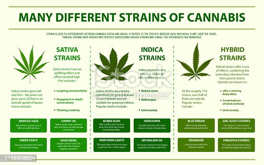 Many different strains of cannabis horizontal infographic, healthcare and medical illustration about cannabis