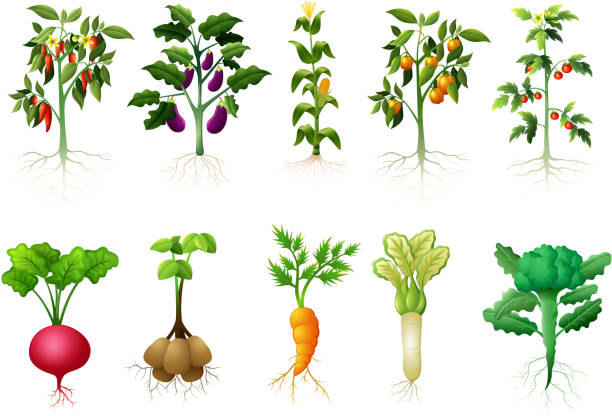 many kind plant of vegetables with roots illustration - root vegetable stock illustrations