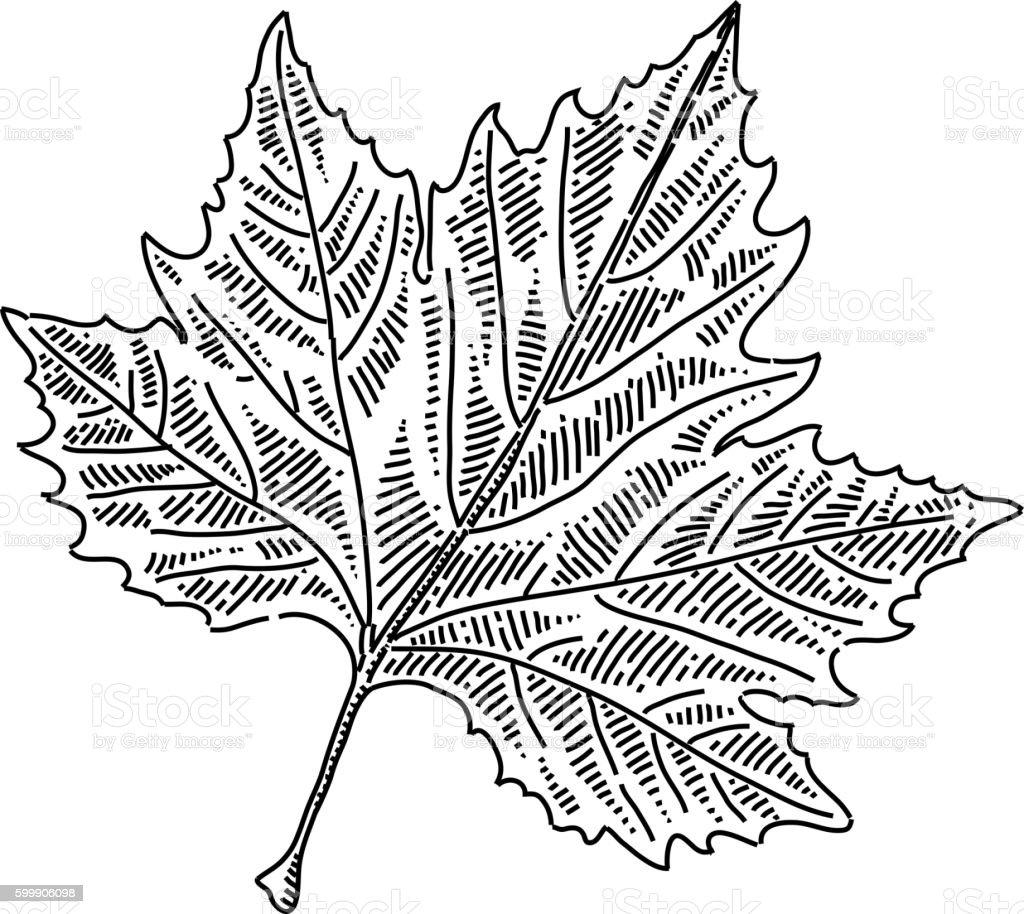 Maple leaf Drawing – Vektorgrafik