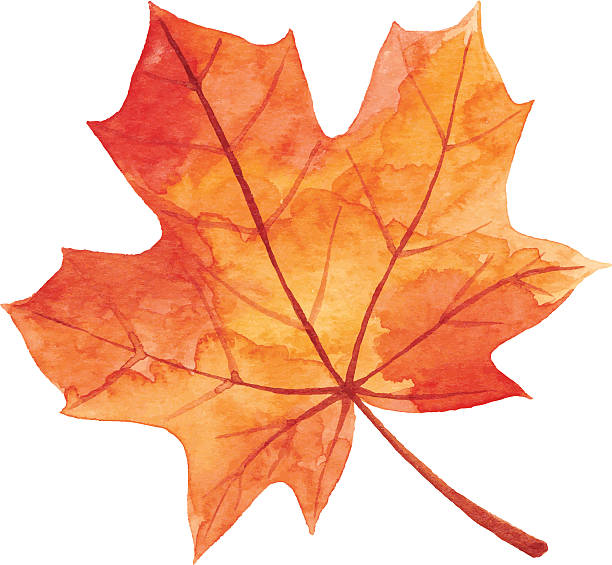 Maple Leaf in Autumn - Watercolor Vector illustration of orange maple leaf. maple leaf stock illustrations
