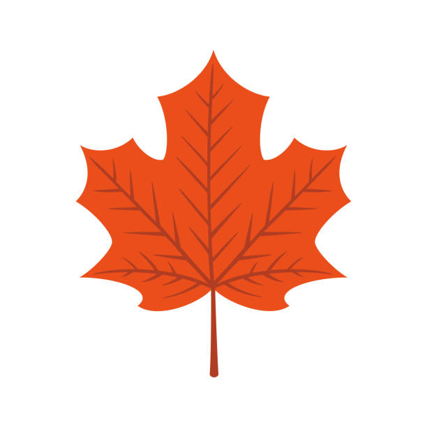 Maple leaf isolated on white background Maple,leaf,autumn,nature,red,plant,tree,clip art,design element maple leaf stock illustrations