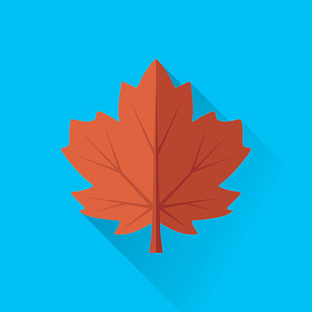 Maple Leaf Vector illustration of maple leaf. maple leaf stock illustrations