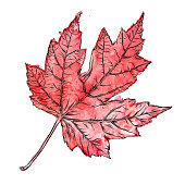 Maple Leaf Vector Watercolor and Ink Drawing