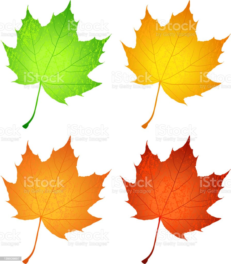 Maple leaves royalty-free stock vector art