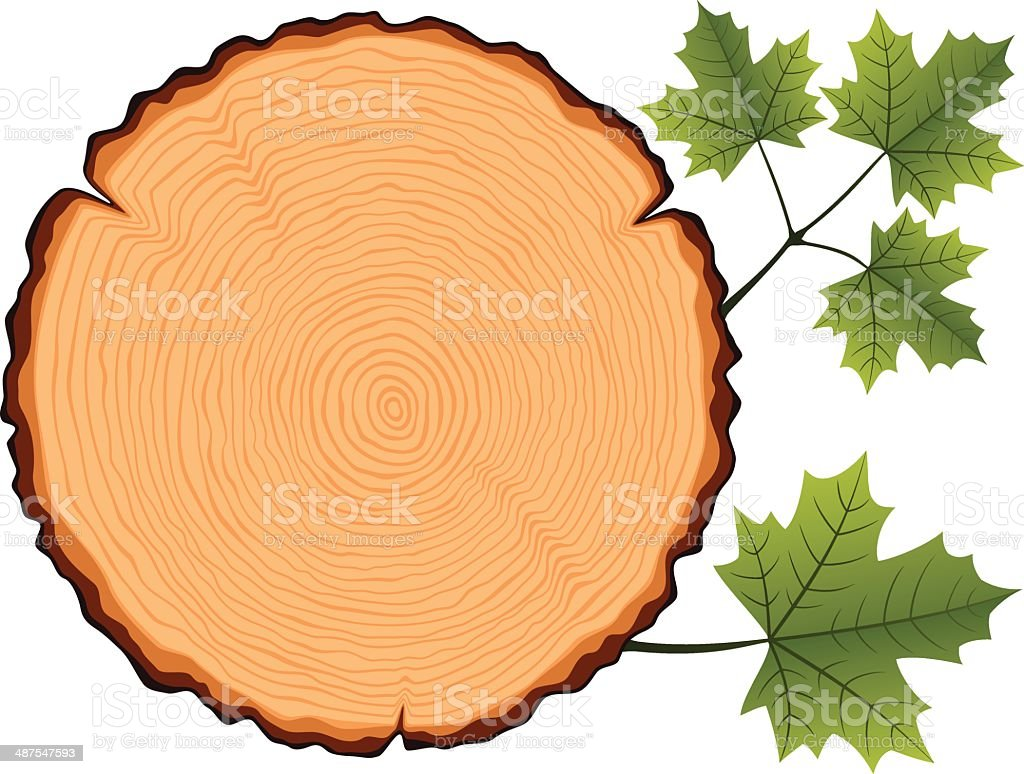 Coupe transversale en bois d rable cliparts vectoriels - Coupe transversale d un tronc d arbre ...
