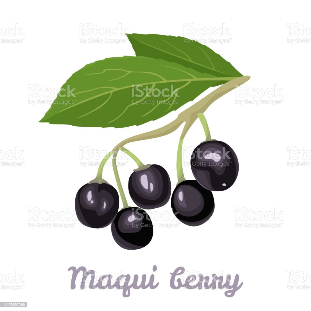 Maqui Berry Isolated On White Background Branch Of Fresh Healthy