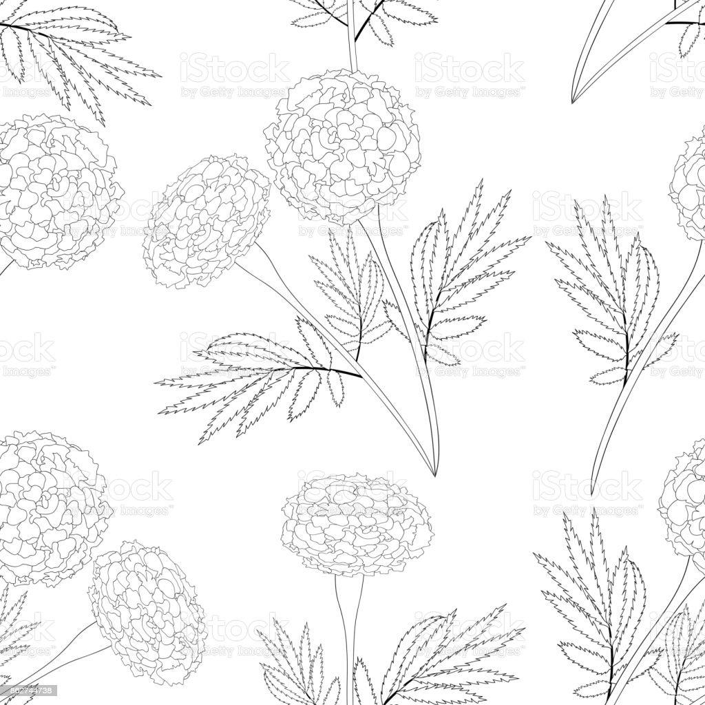 Marigold on White Background vector art illustration